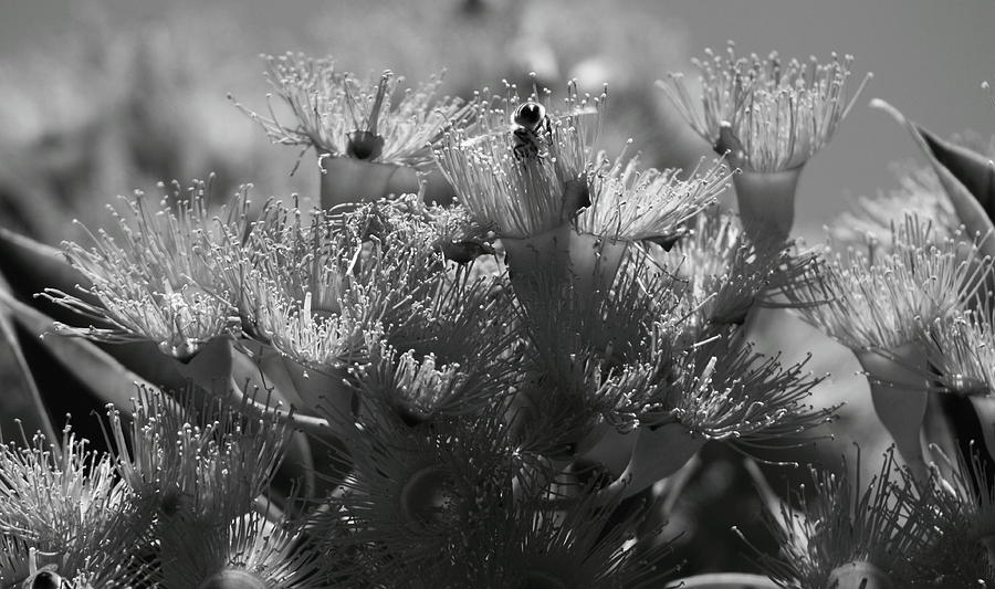 Flowering gum baby orange in bw photograph by elayne hand tree photograph flowering gum baby orange in bw by elayne hand mightylinksfo