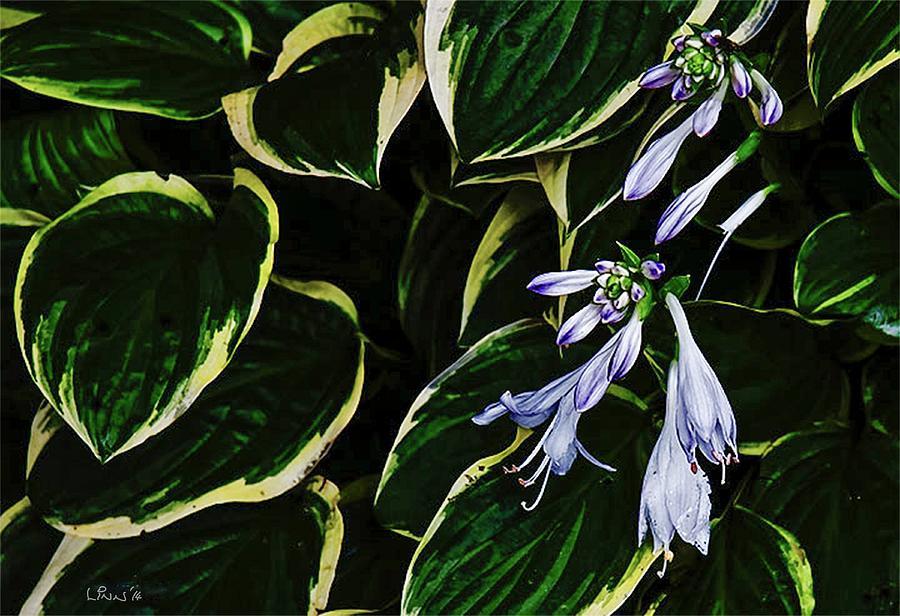 Green Digital Art - Flowering Hosta by Bill Linn