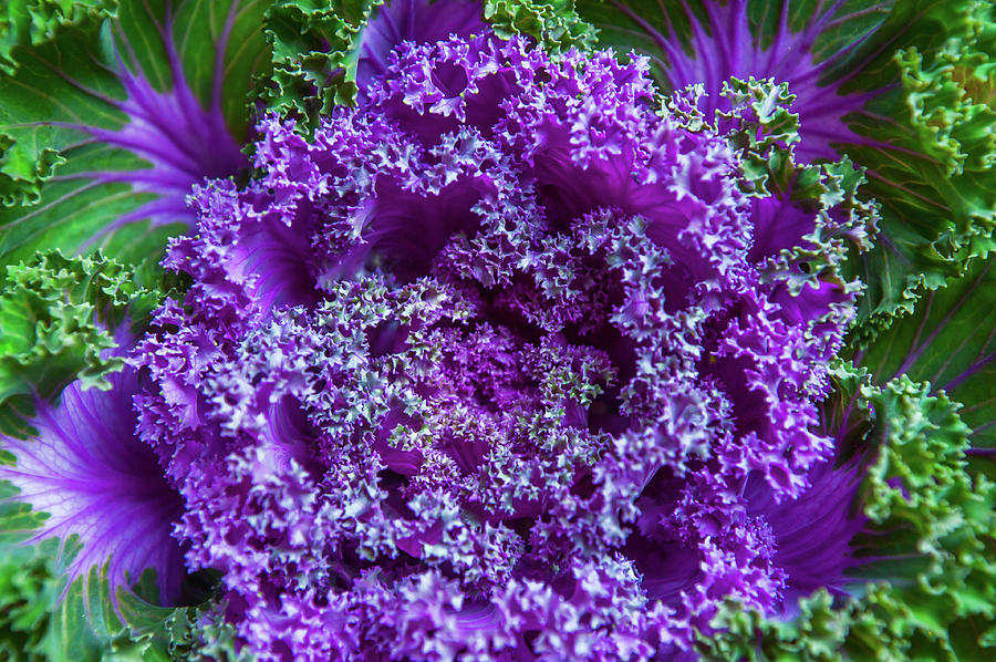 Flowering Kale Photograph By Jenny Rainbow
