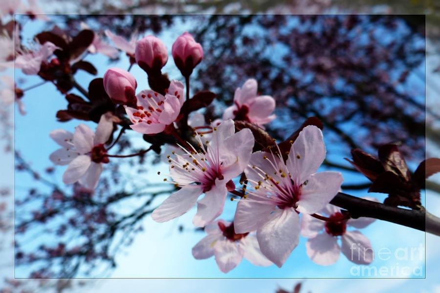 Bloom Photograph - Flowering Of The Plum Tree 6 by Jean Bernard Roussilhe