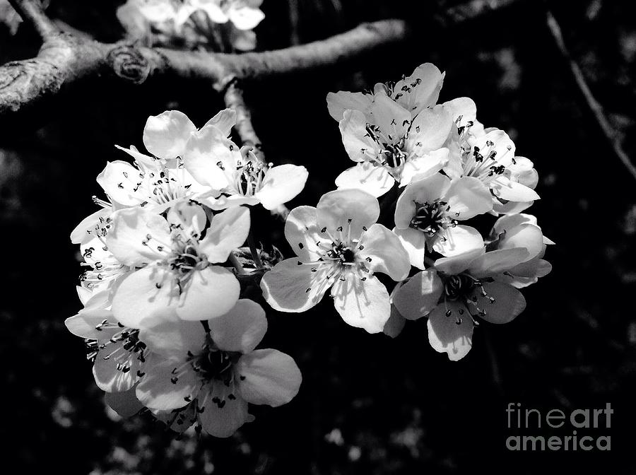 Flowering pear tree in black and white photograph by debra lynch black photograph flowering pear tree in black and white by debra lynch mightylinksfo