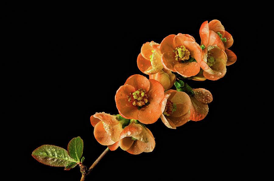 Flowering Quince Orange by Mary Jo Allen