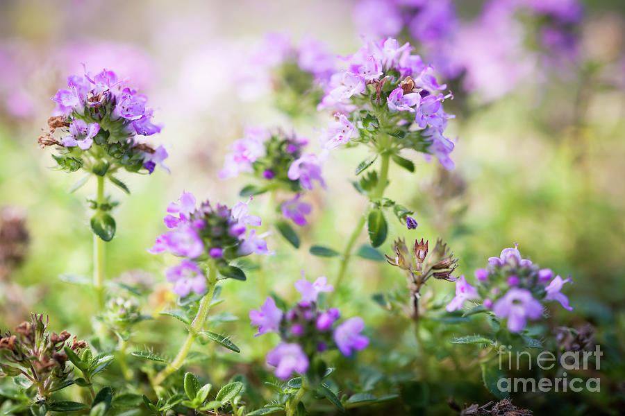 Thyme Photograph - Flowering Thyme by Elena Elisseeva