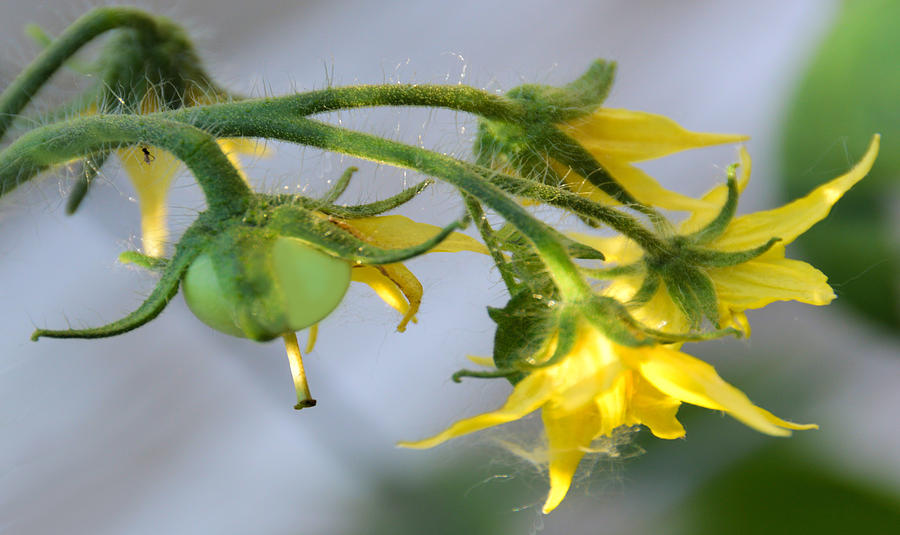 Flowering tomato plant photograph by pat cook flowers photograph flowering tomato plant by pat cook mightylinksfo