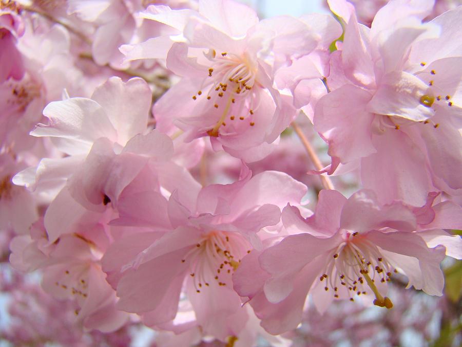Flowering Tree Art Prints Spring Pink Blossom Flowers Baslee Photograph