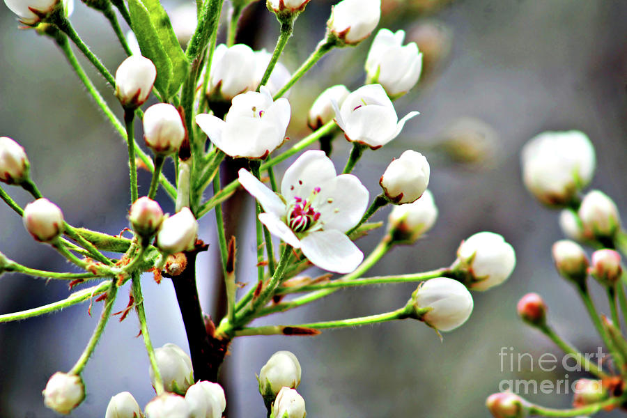 Flowering Tree Photograph