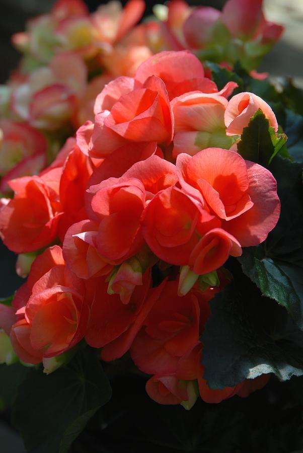 Begonia Flowers Photograph - Flowers 160 by Joyce StJames