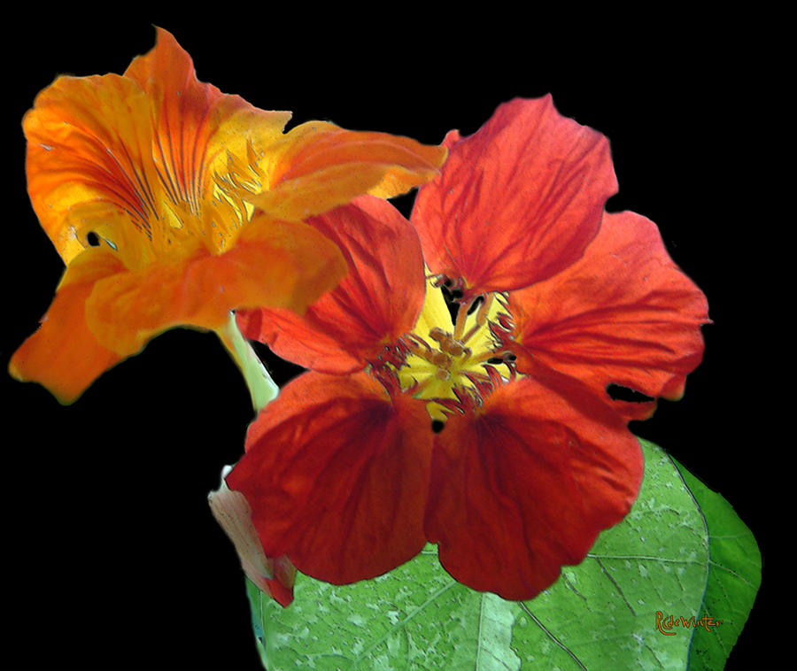 Nasturtiums Painting - Flowers For Ebie by RC DeWinter