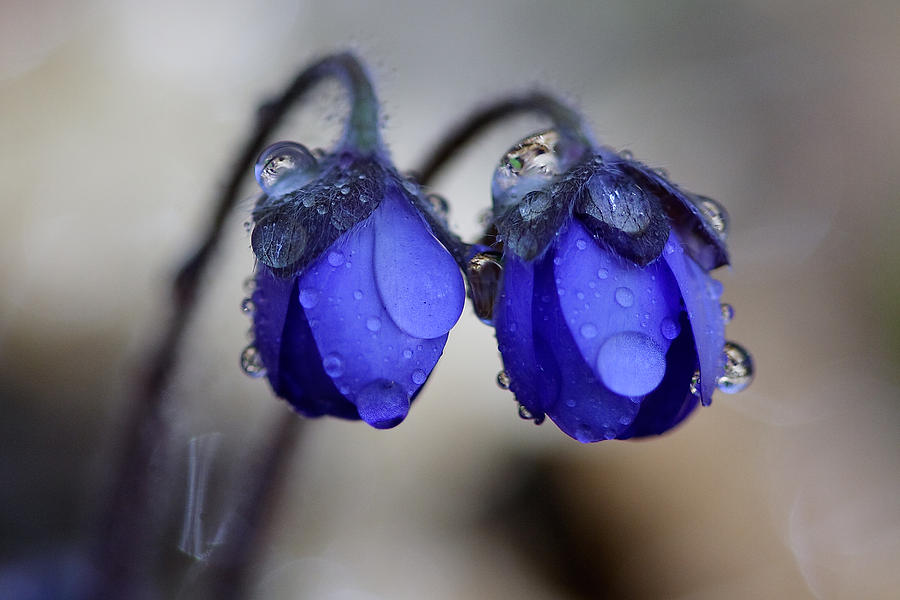 Card Photograph - Flowers Fresh Rain Droplet by Romeo Koitmae