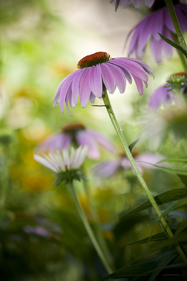 Echinacea Purpurea Photograph - Flowers In Bloom by Chad Davis