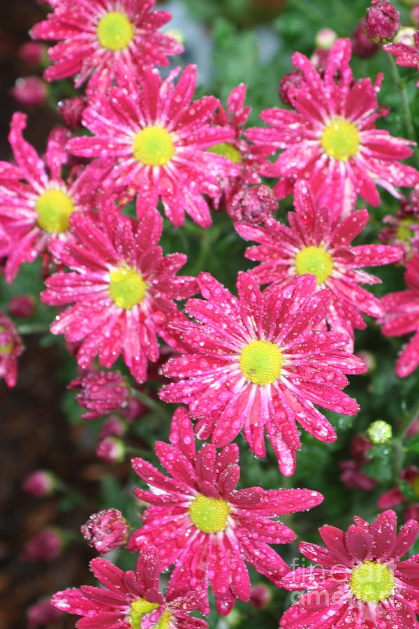 Pink Photograph - Flowers In The Rain by Amy Holmes