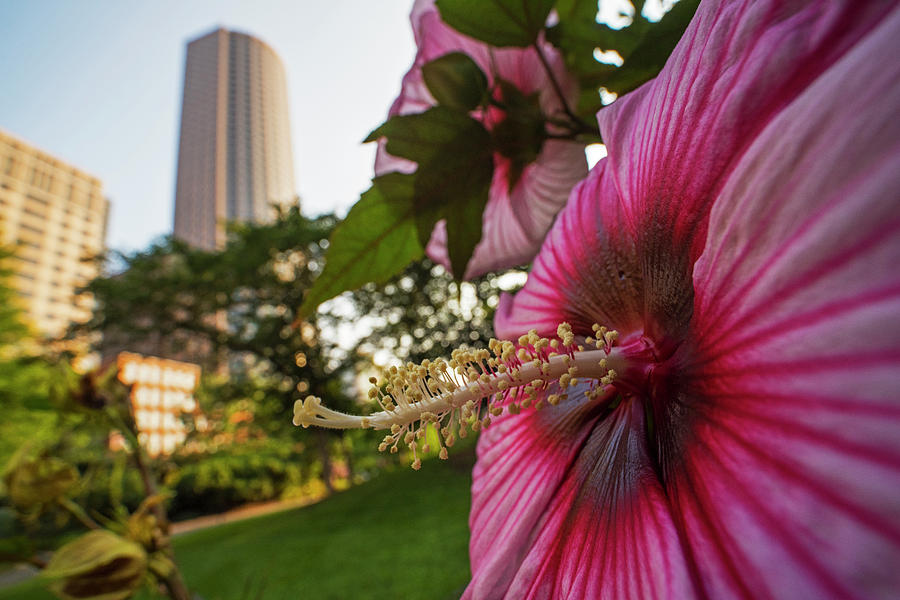Flowers of Boston Hibiscus Flower Boston MA by Toby McGuire