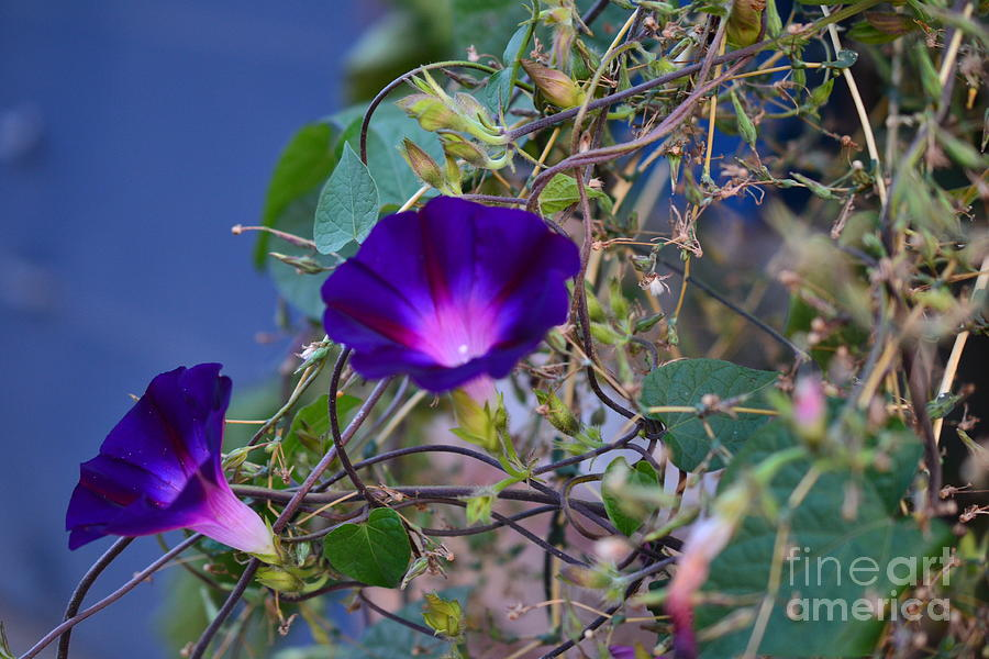 Purple Photograph - Flowers On Dupont Street by Alana Boltwood