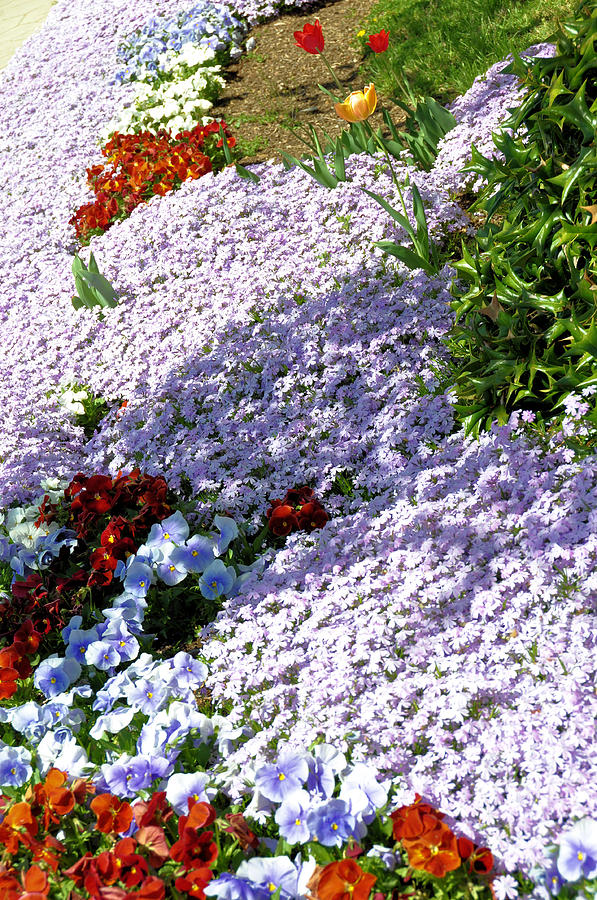 Floral Photograph - Flowing Phlox by Jan Amiss Photography