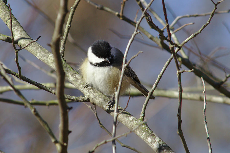 Chickadee Photograph - Fluffy Chickadee by Brad Chambers