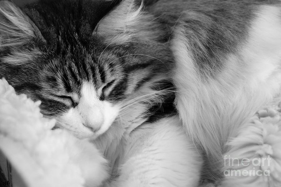 Cat Photograph - Fluffy Comfort by Linda Koelbel
