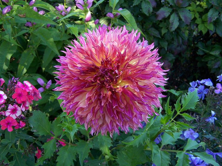 Flower Photograph - Fluffy Flower by Colleen Neff