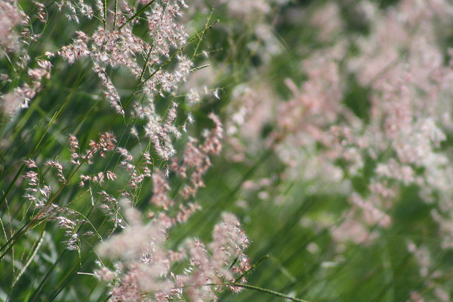 Flowers Photograph - Fluffy Grasses by Maria Young