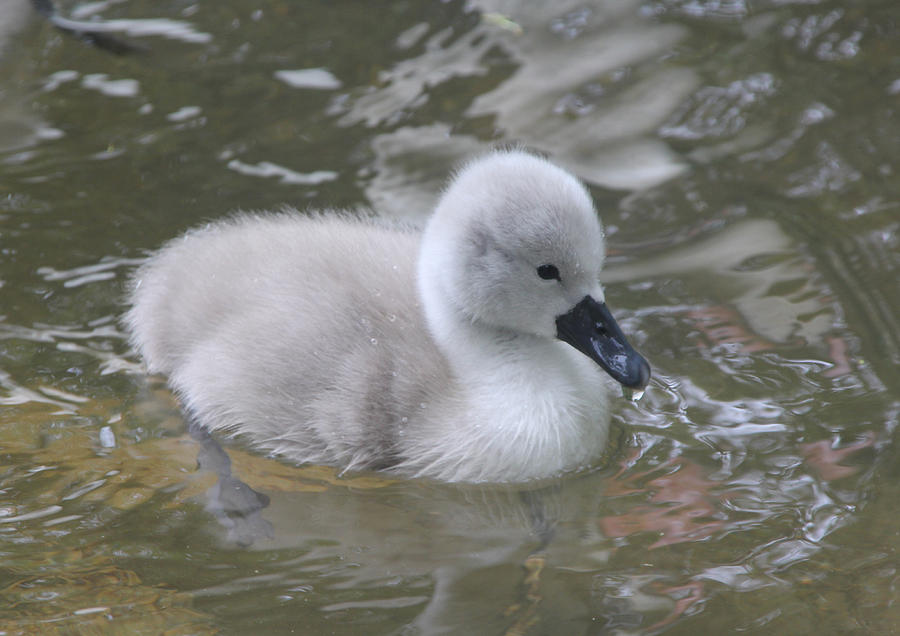 Baby Photograph - Fluffy Signet by Kyle Hillman