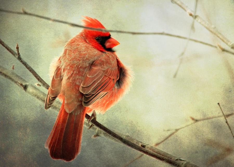 Cardinal Photograph - Fluffy Winter Cardinal by Al  Mueller