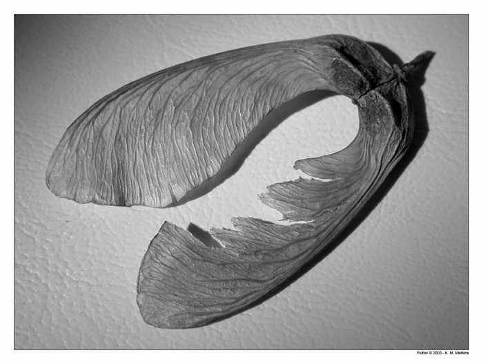 Flutter Photograph - Flutter by Kate Watkins