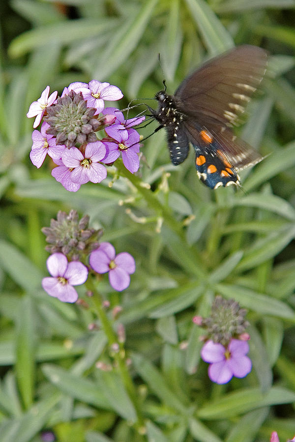 Nature Photograph - Fluttering by Charlie Osborn