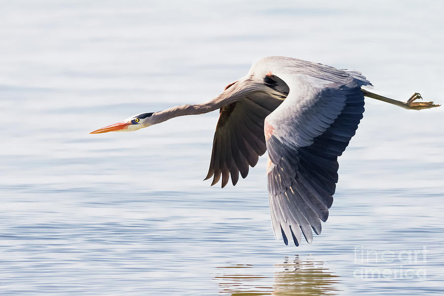 Great Blue Heron Photograph - Fly Away Blue by Michael McStamp
