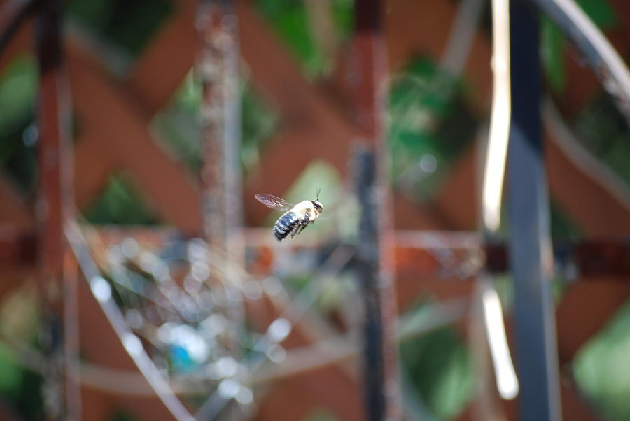 Bee Photograph - Fly By by Peter  McIntosh