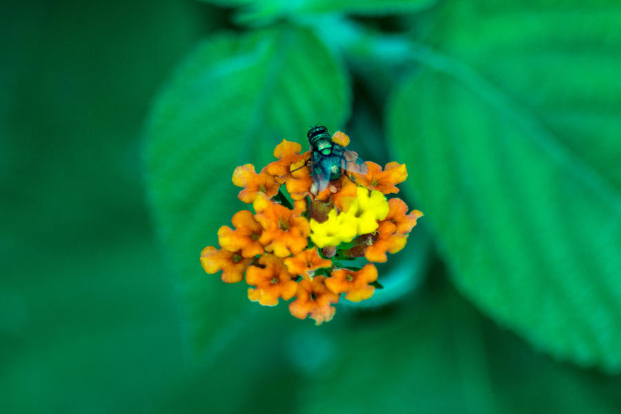 Fly Photograph - Fly On Flower by Totto Ponce