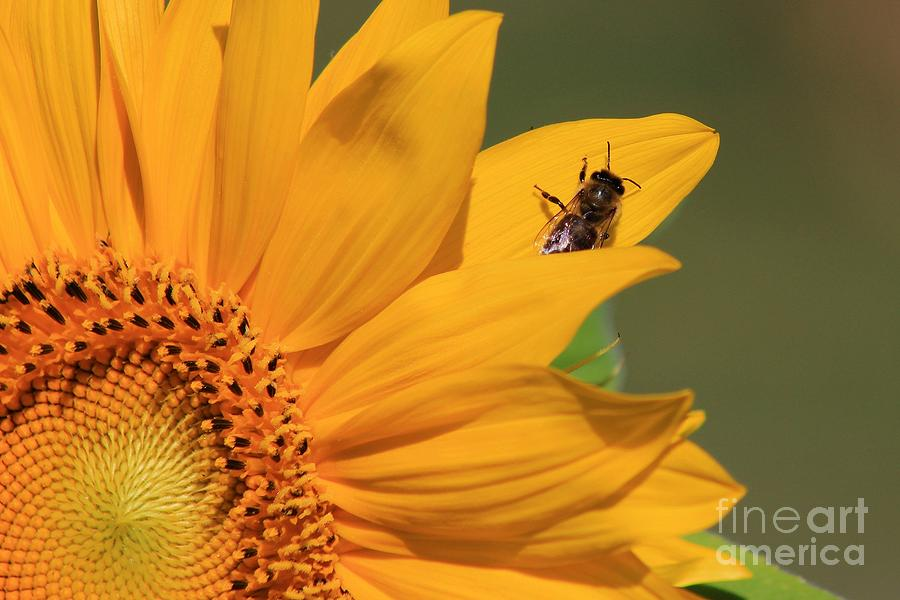 For Sale Photograph - Fly On Sunflower by Robert Wilder Jr