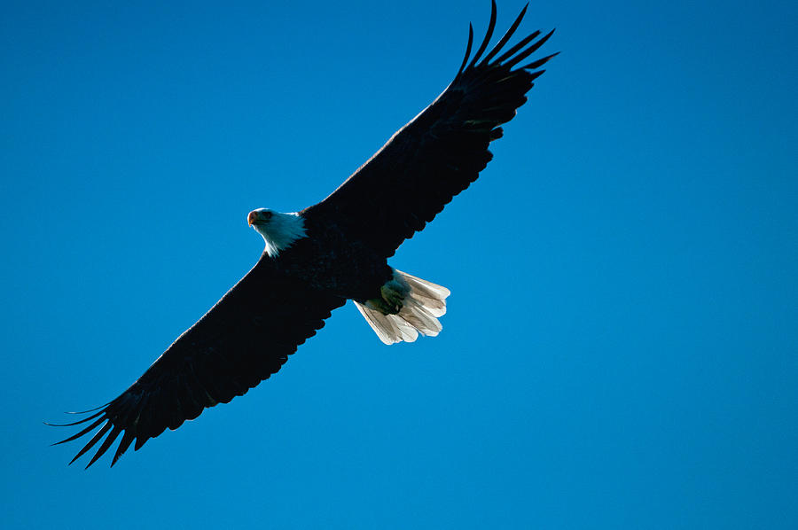 Eagle Photograph - Fly Over by Paul Mangold