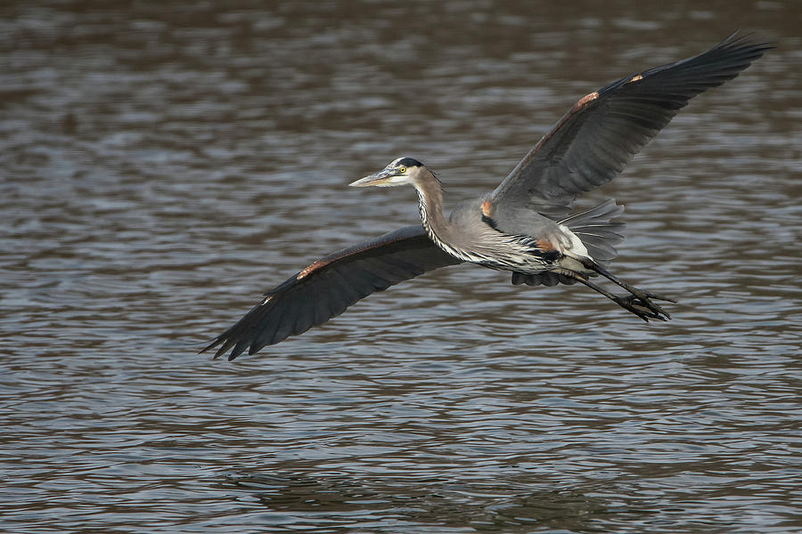 Heron Photograph - Flyby by Linda Shannon Morgan