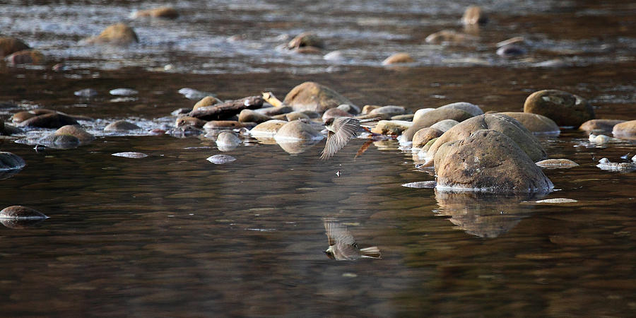 Flycatcher Photograph - Flycatcher Hunting On The Buffalo River by Michael Dougherty