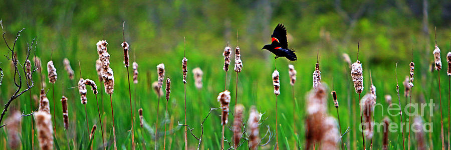 Sun Photograph - Flying Amongst Cattails by James F Towne