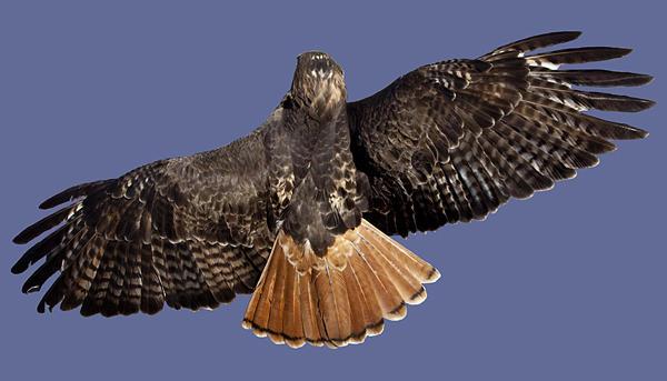 Red Tailed Hawk Photograph - Flying Away by Joe Darin
