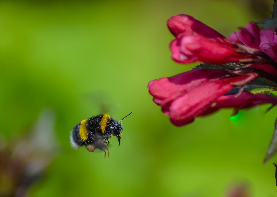 Flying Bumblebee by Rainer Kersten