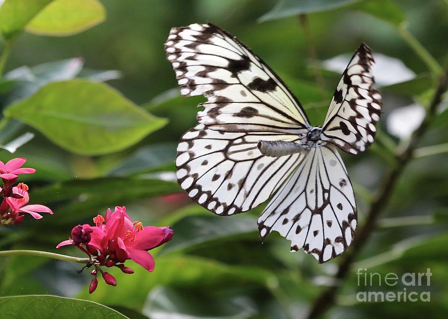 Paper Kite Butterfly Photograph - Flying Butterfly by Carol Groenen