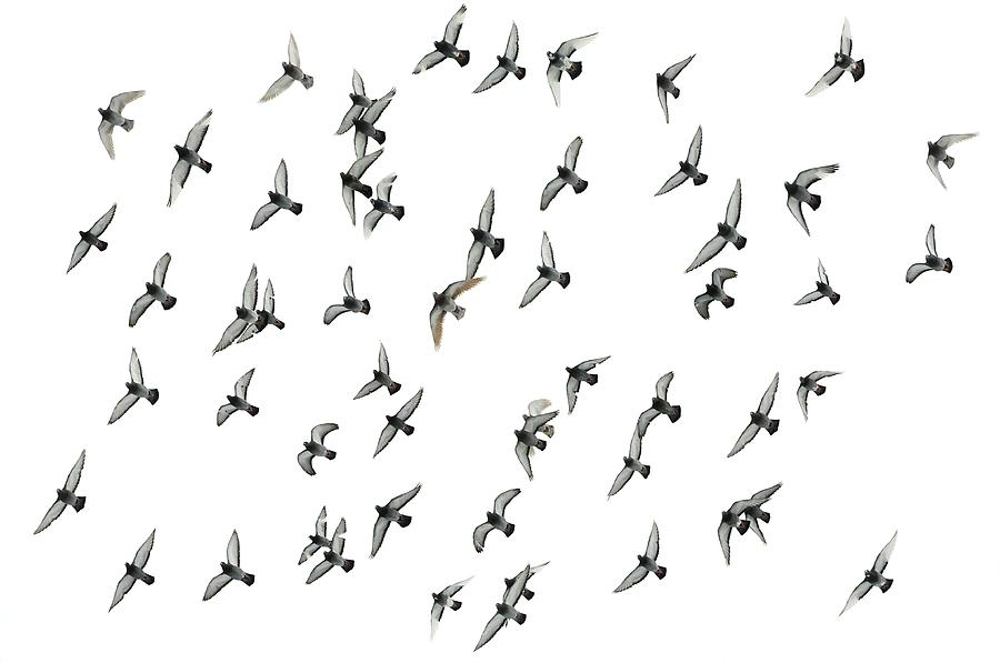Pigeon Photograph - Flying Formation by Hans Kool