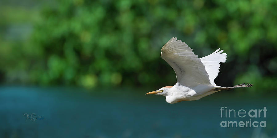 Egret Photograph - Flying Free by Tracy Saunders