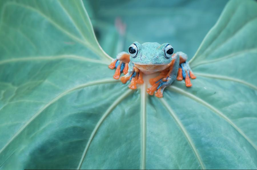 Flying Frog Photograph - Flying Frog Wallace by Riza Arif Pratama