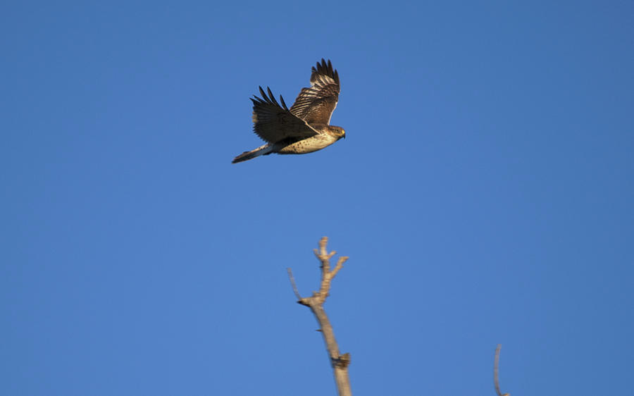 Hawk Photograph - Flying Hawk I  by Christopher Wood