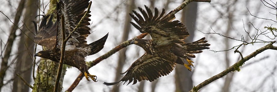 Bald Eagle Photograph - Flying In The Woods Pe002 by Yoshiki Nakamura