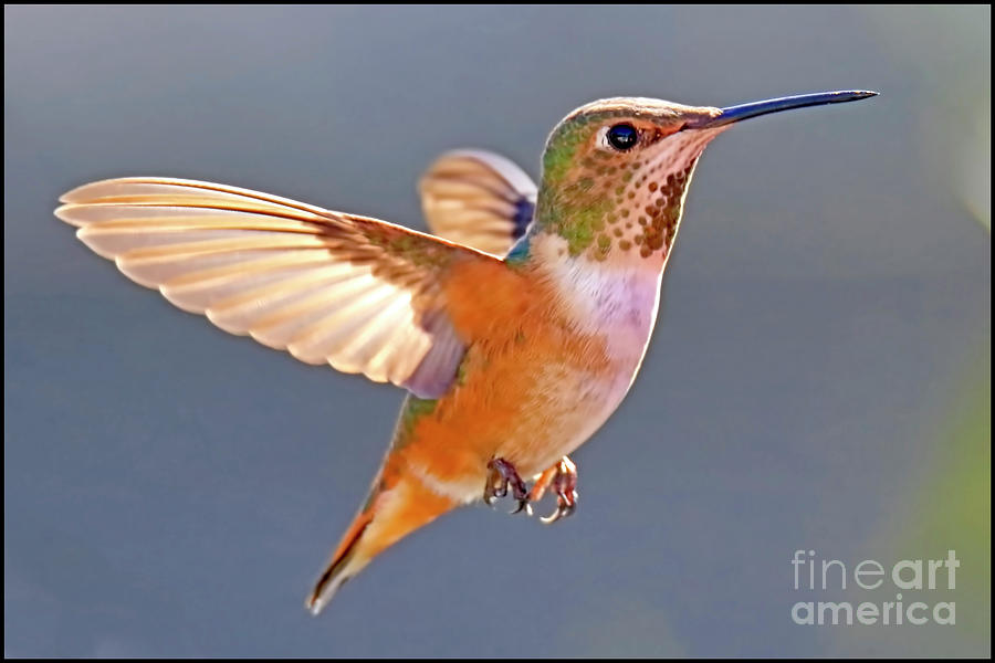Hummingbird Photograph - Flying Jewel by Edita De Lima