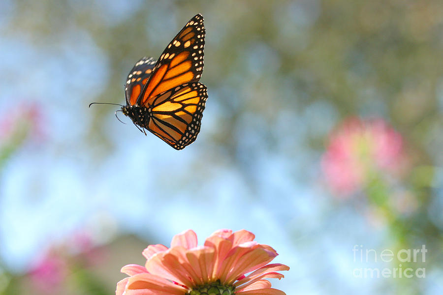 Monarch Photograph - Flying Monarch by Steve Augustin