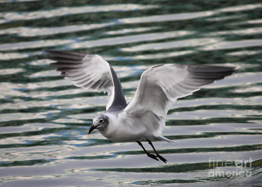 Flying Seagull Photograph - Flying Seagull by Carol Groenen