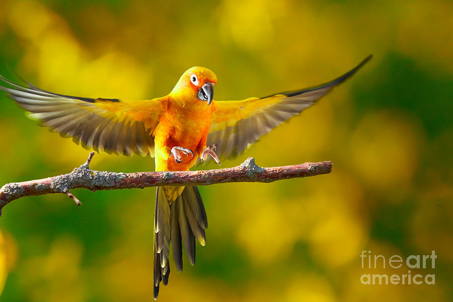 Flying Sun Conure Landing Photograph By Robert Gaines