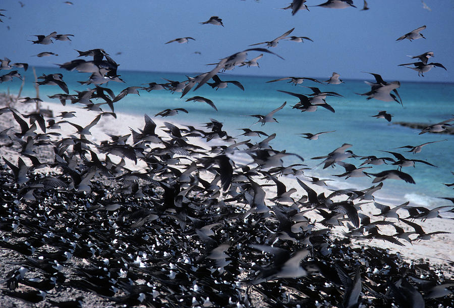 Flock Photograph - Flying Terns  on the Great Barrier Reef by Carl Purcell