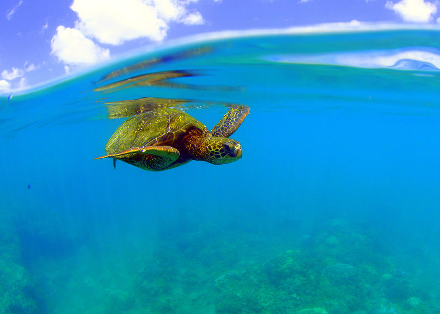 Flying Turtle Photograph by Todd Hummel