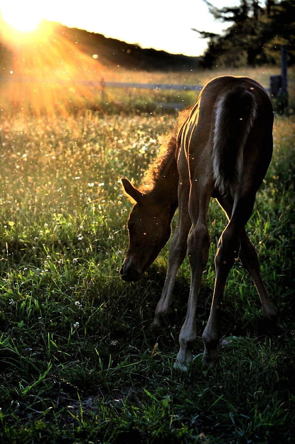 Foal Photograph - Foal At Sundown by Emily Stauring