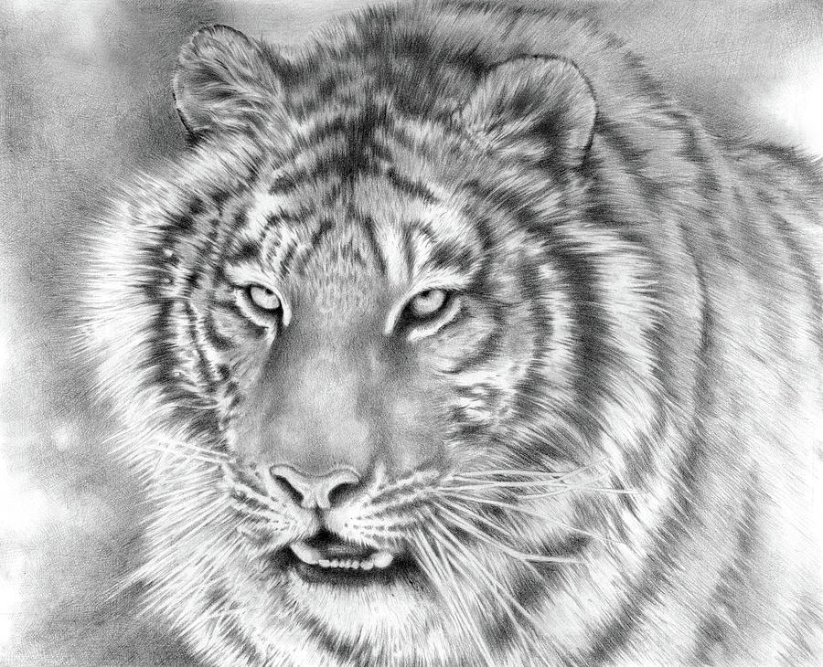Animal Drawing - Focus by Cliff Lambert